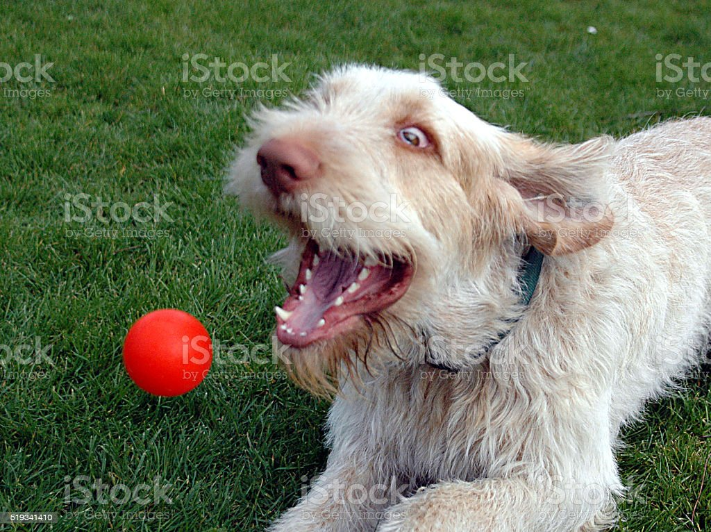 Flyball stock photo