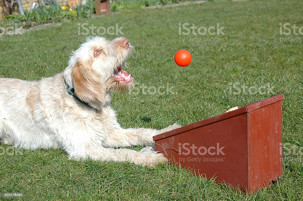 Flyball #2 stock photo