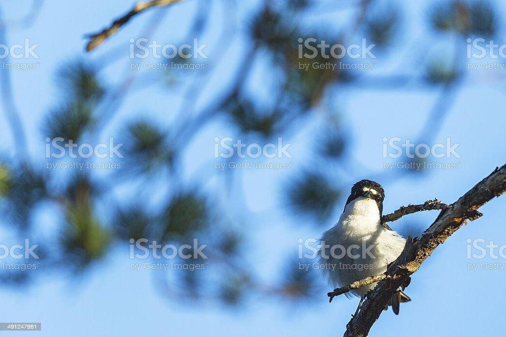 Flycatcher on a branch stock photo