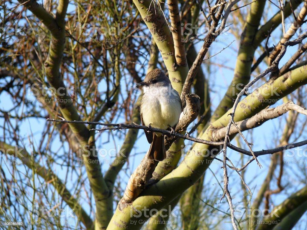 Flycatcher perched on a Palo Verde Tree stock photo