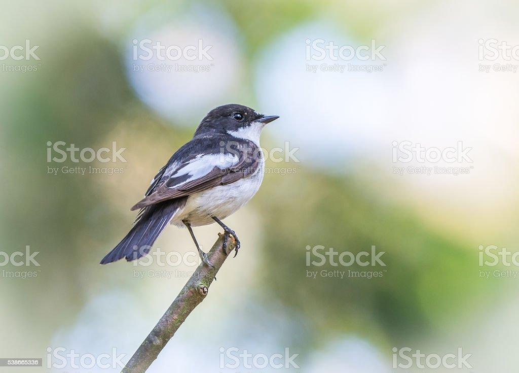 Flycatcher stock photo