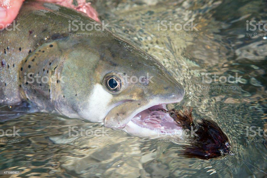 Flyfisherman holding a huchen ( huchohucho) stock photo
