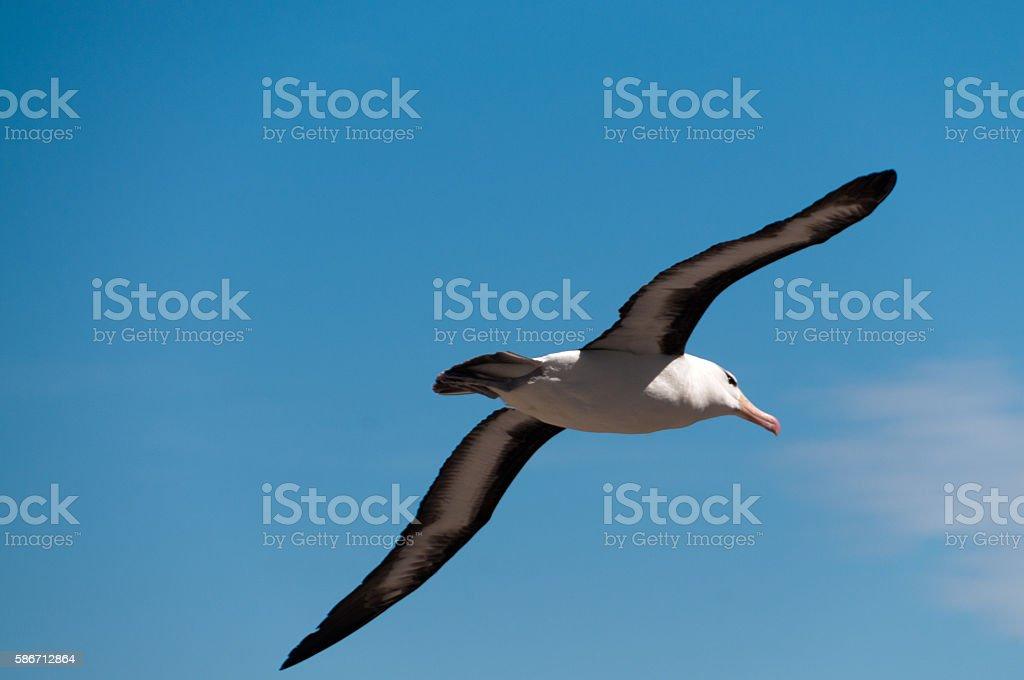 Flying Albatross stock photo