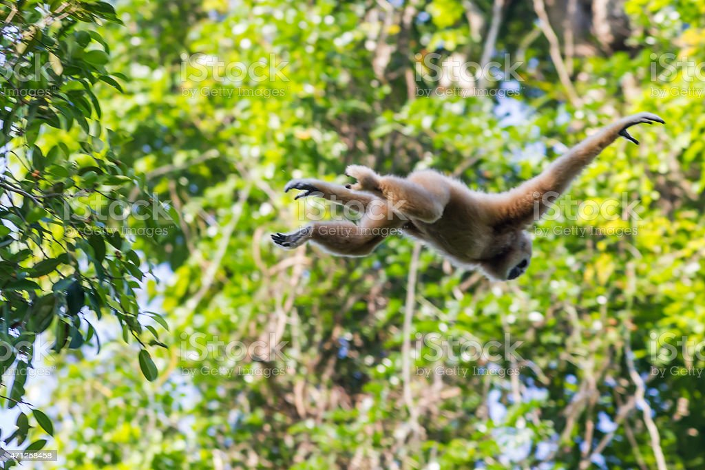 Flying and jumping White-handed gibbon(Hylobates lar) stock photo