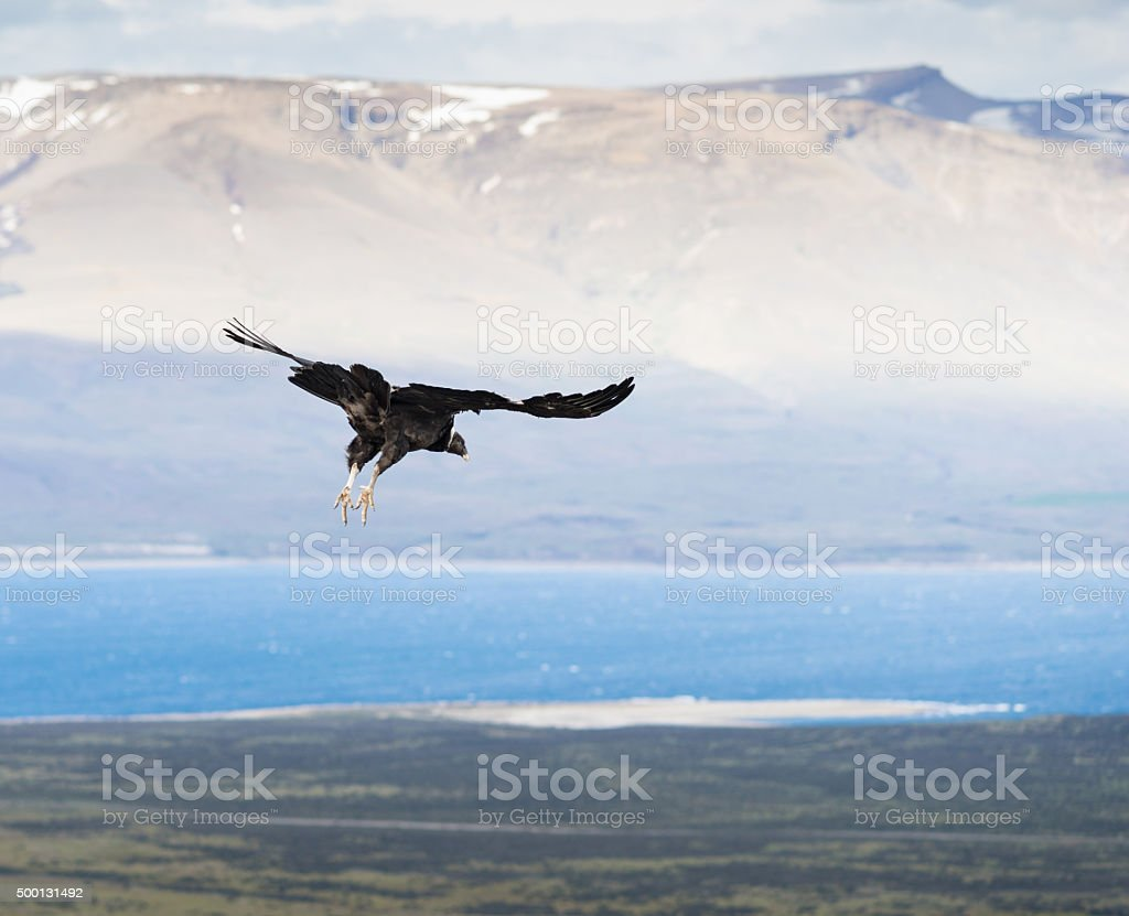 Flying Andean Condor in Patagonia, Chile stock photo