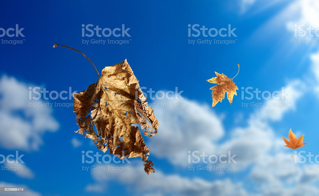 flying autumn leaves stock photo