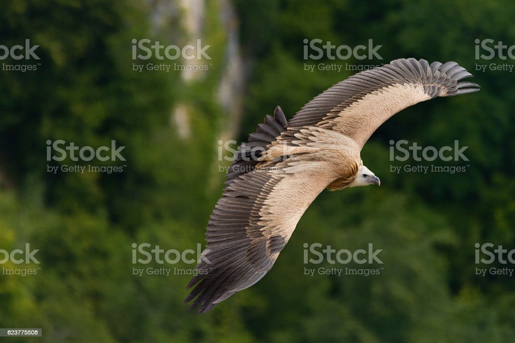 Flying availing the thermal currents stock photo