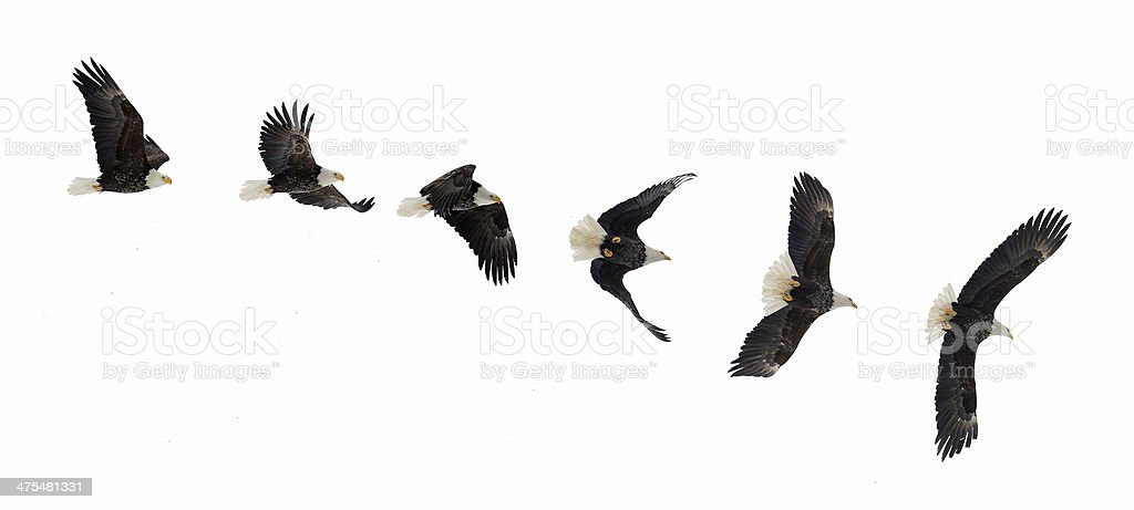 Flying bald eagle stock photo