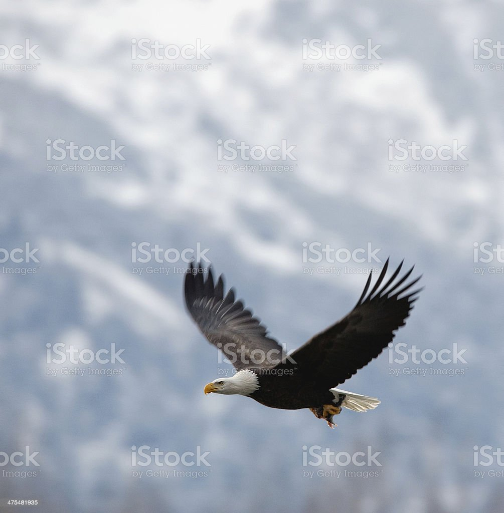 Flying bald eagle stock photo