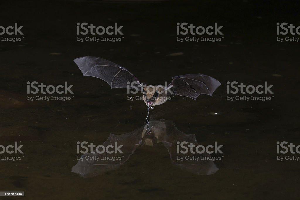 Flying bat at night using flash stock photo