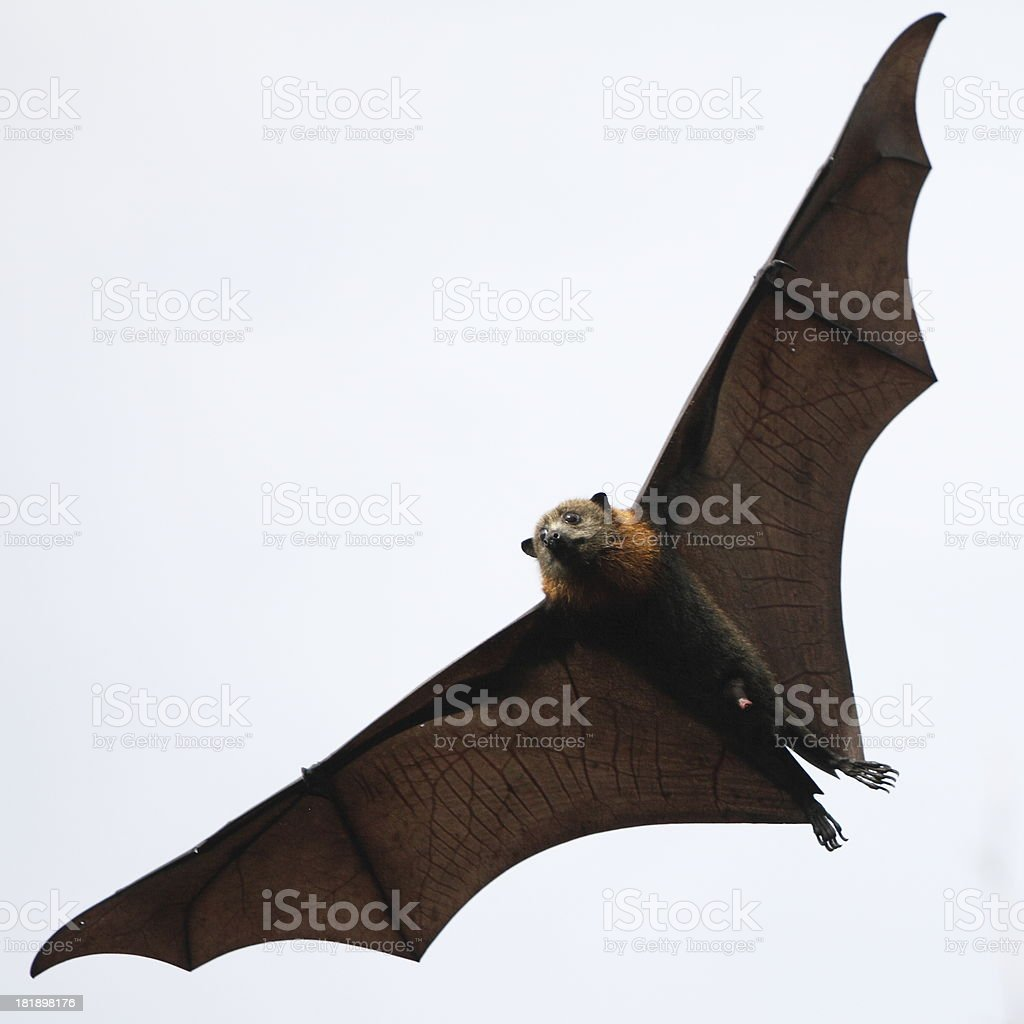 Flying Bat royalty-free stock photo