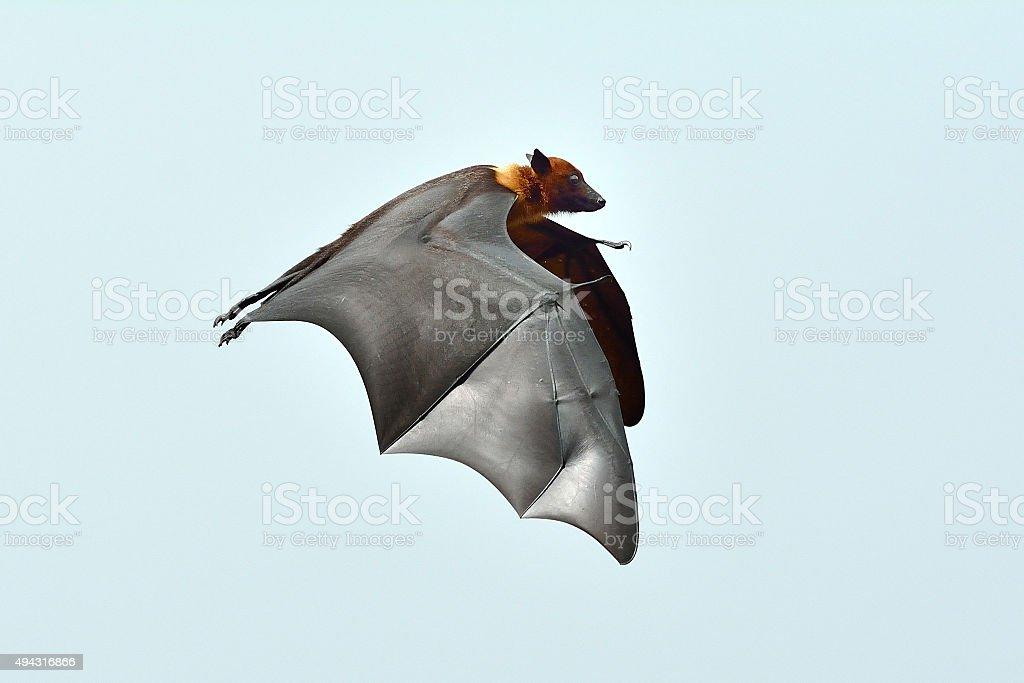Chauve-souris volant photo libre de droits