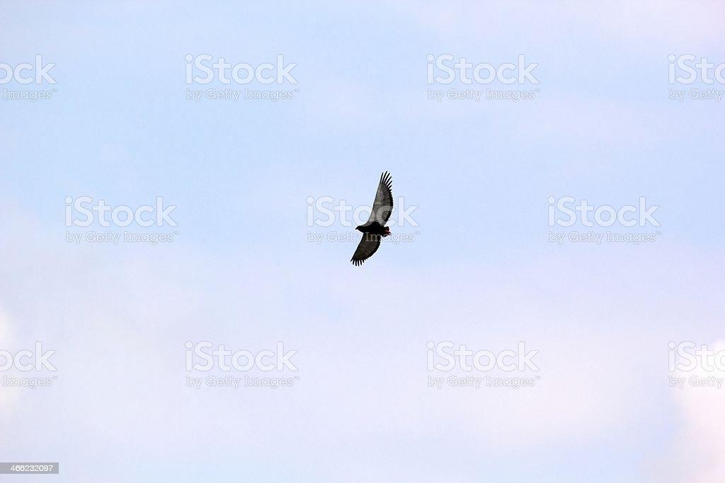 Flying bataleur stock photo