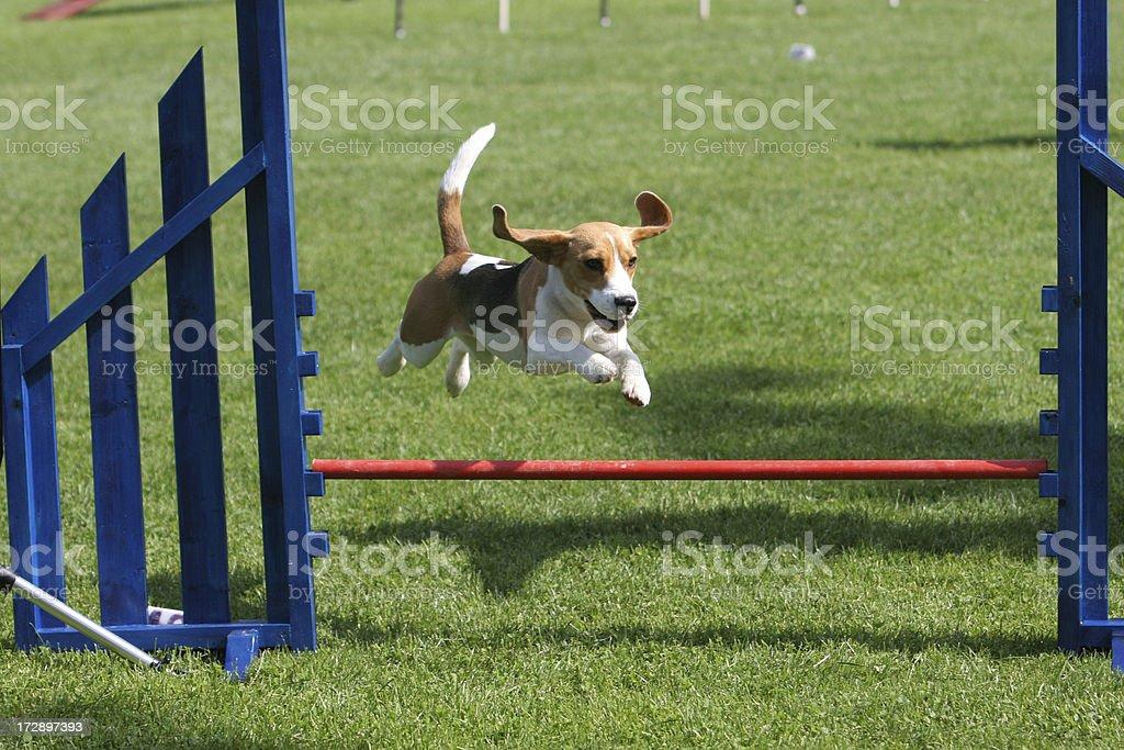 Flying beagle royalty-free stock photo