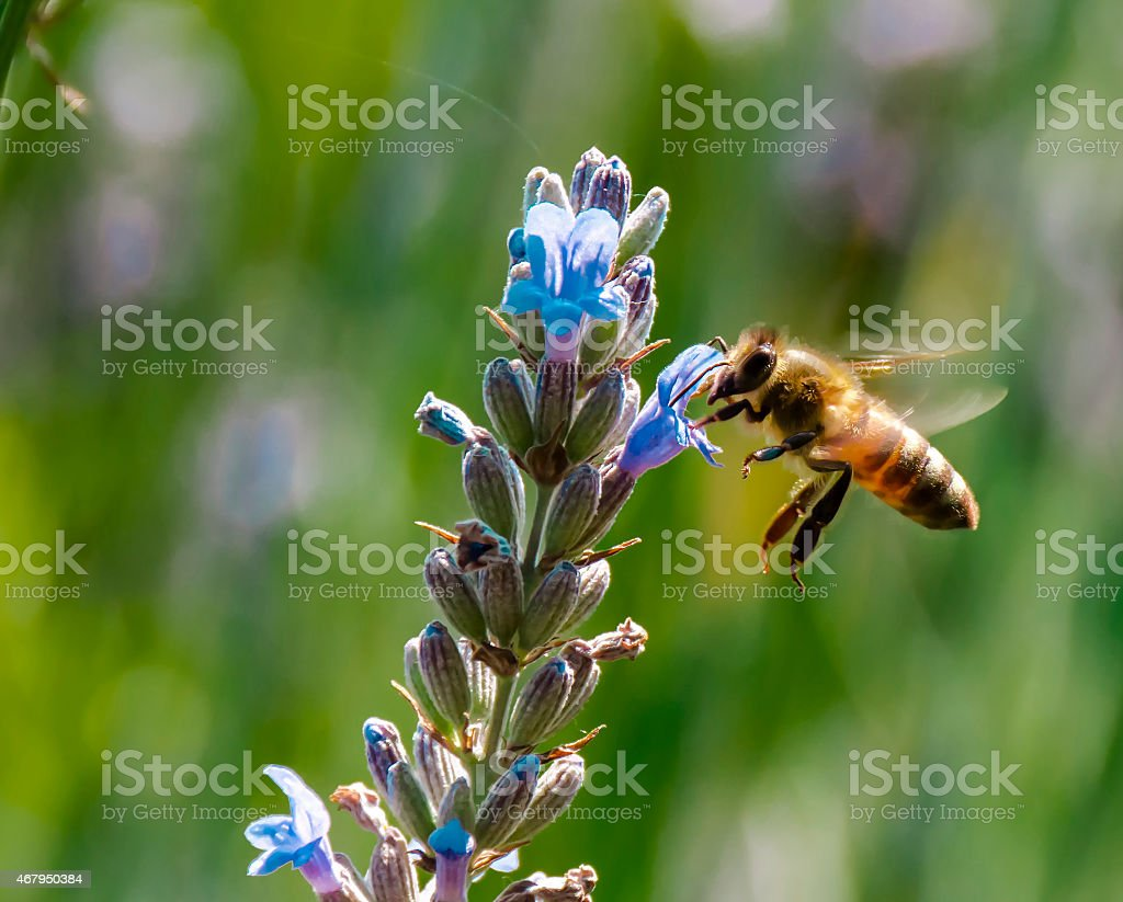 Flying bee at Lavender flowers stock photo