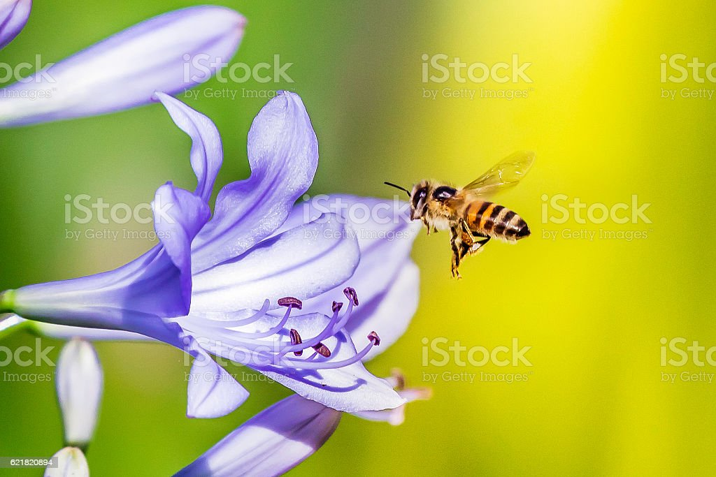 Flying Bee entering a african lily flower stock photo