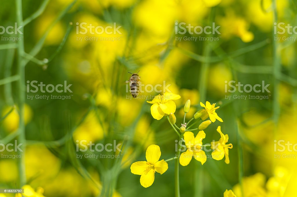 Flying Bee over the Rapeseed Field. Macro stock photo
