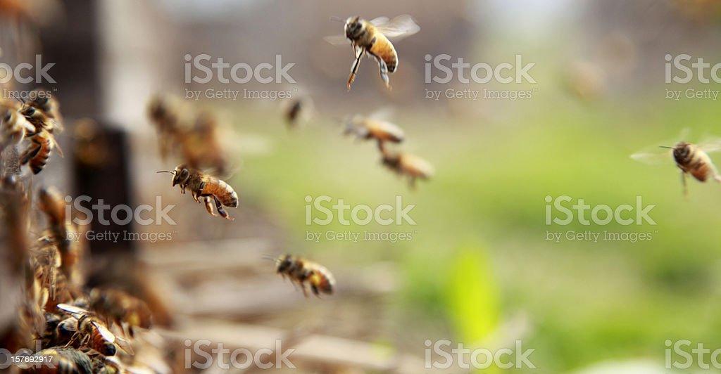 flying bee stock photo