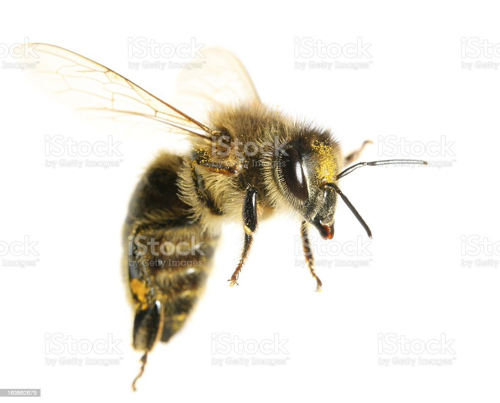 Flying Bee stock photo