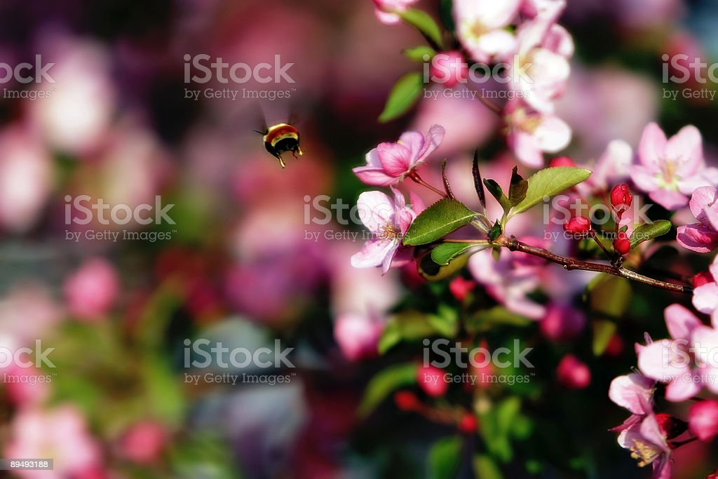 Flying Bee & Spring Blossoms royalty-free stock photo