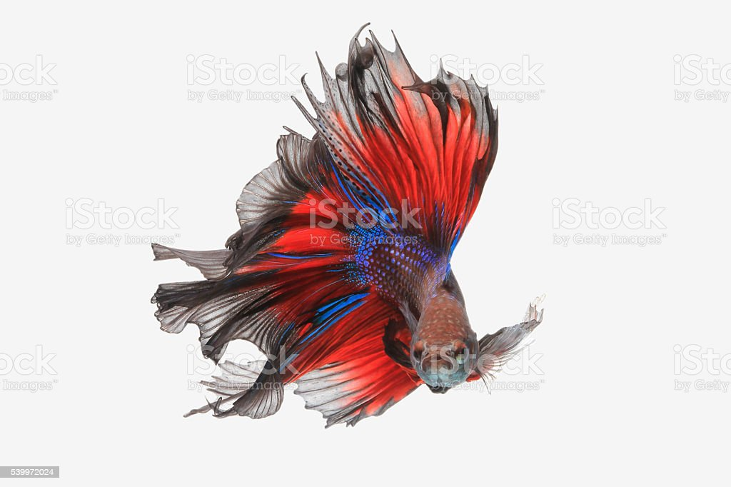 Flying betta fish stock photo