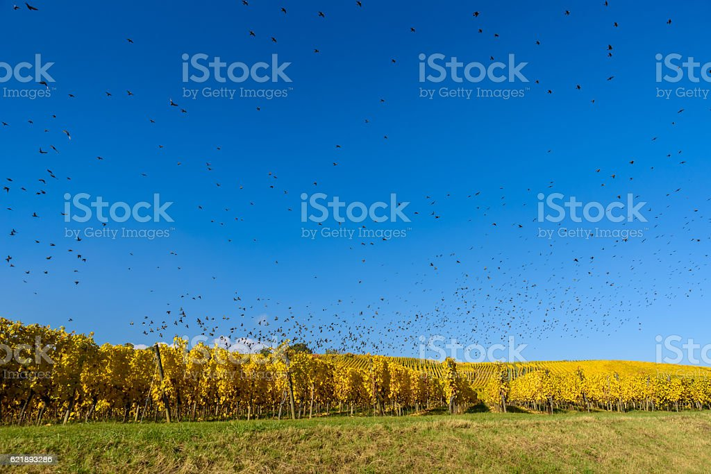 Flying bird swarm - togetherness of animals - flock of birds