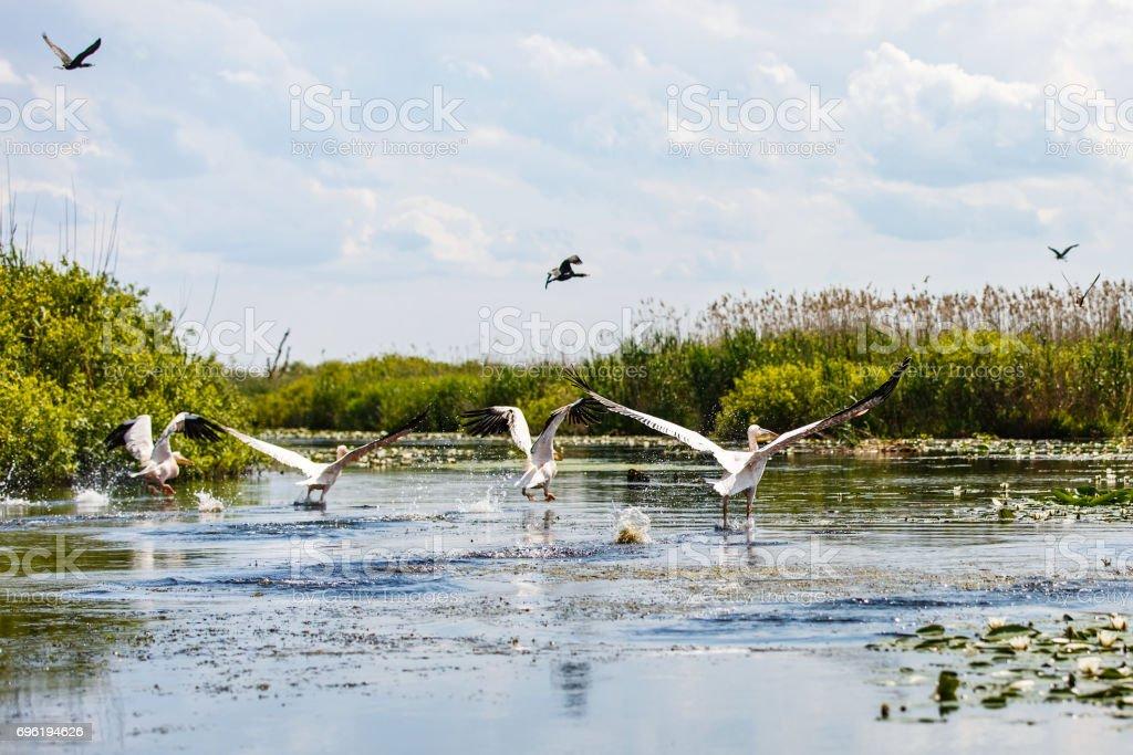 Flying birds and aquatic plants in Danube Delta stock photo