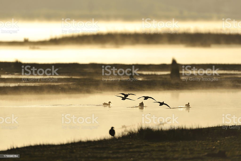 flying birds at a lagoon stock photo