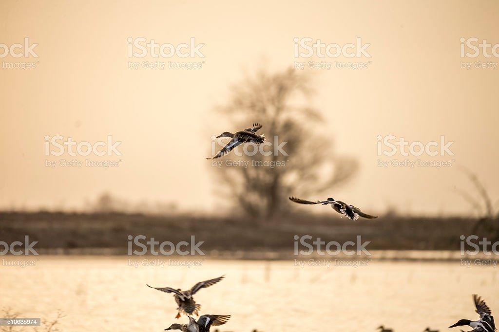 Flying Birds in Merced National Wildlife Refuge stock photo