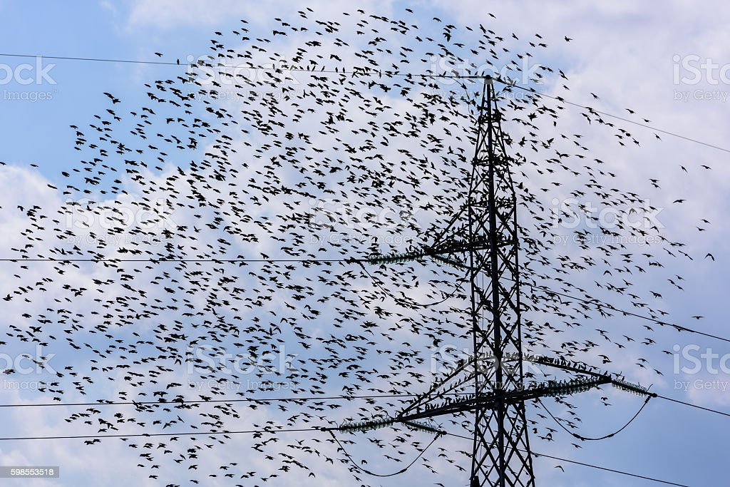 Team of starlings flying and high voltage electric tower. Continuous...