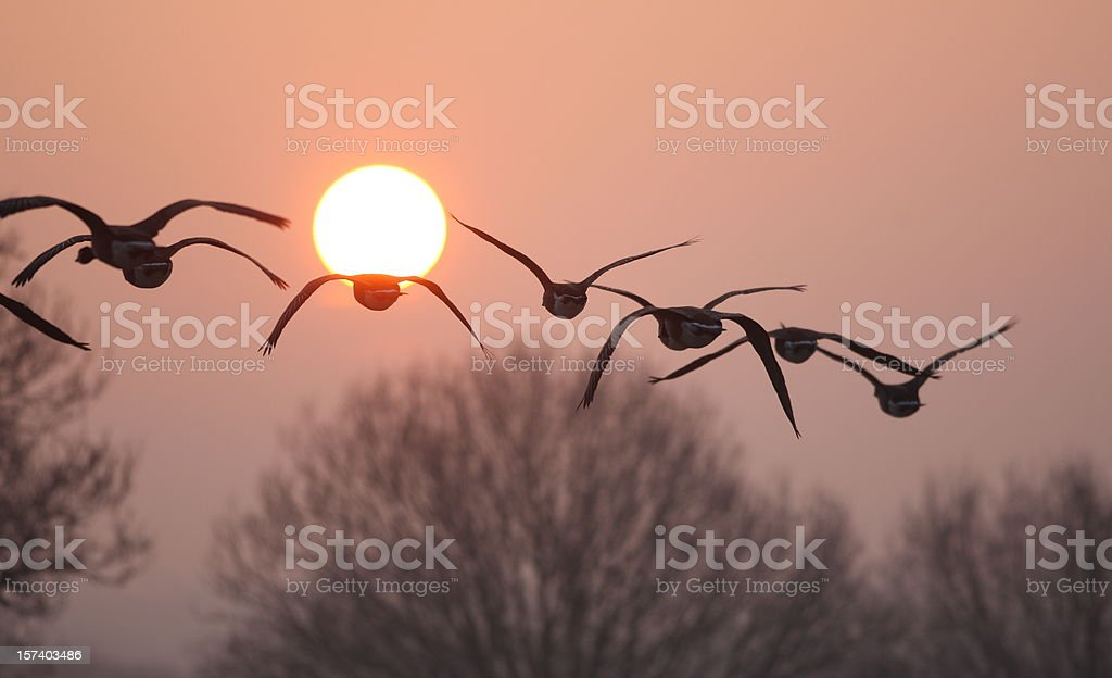 Flying birds silhouetted against rising sun stock photo
