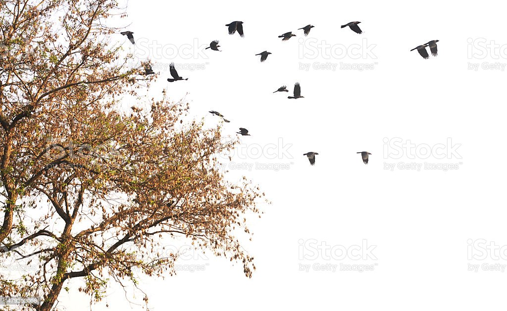 Flying Black Crows stock photo