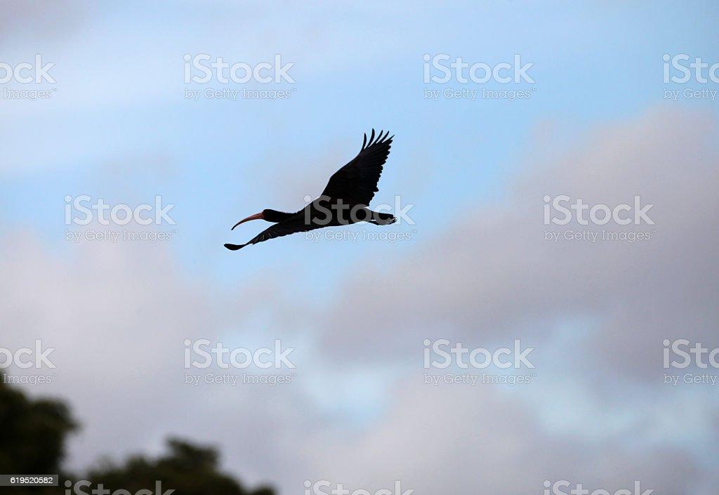 Flying Black Ibis stock photo