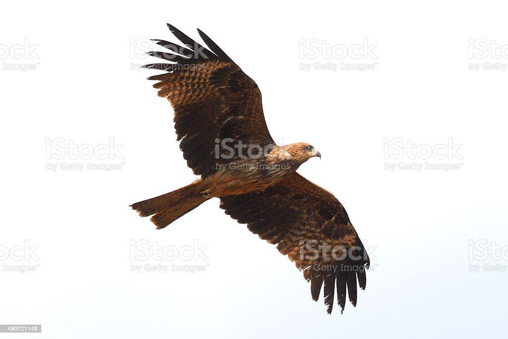 Flying Black Kite stock photo