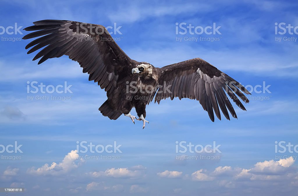 Flying black vulture stock photo