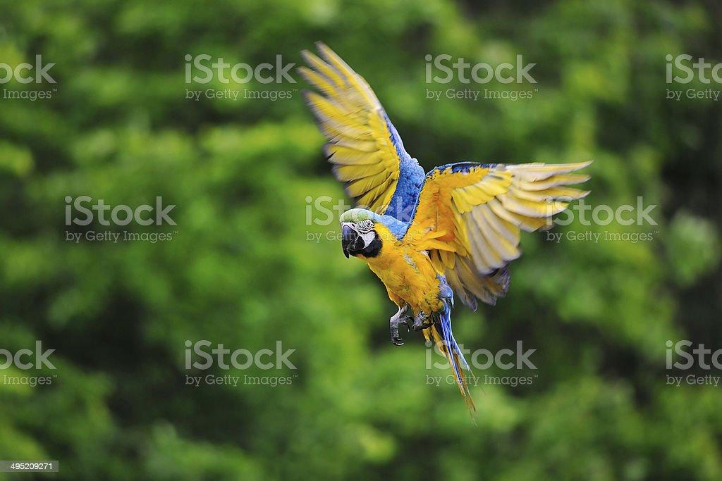 Flying blue-and-yellow Macaw - Ara ararauna stock photo