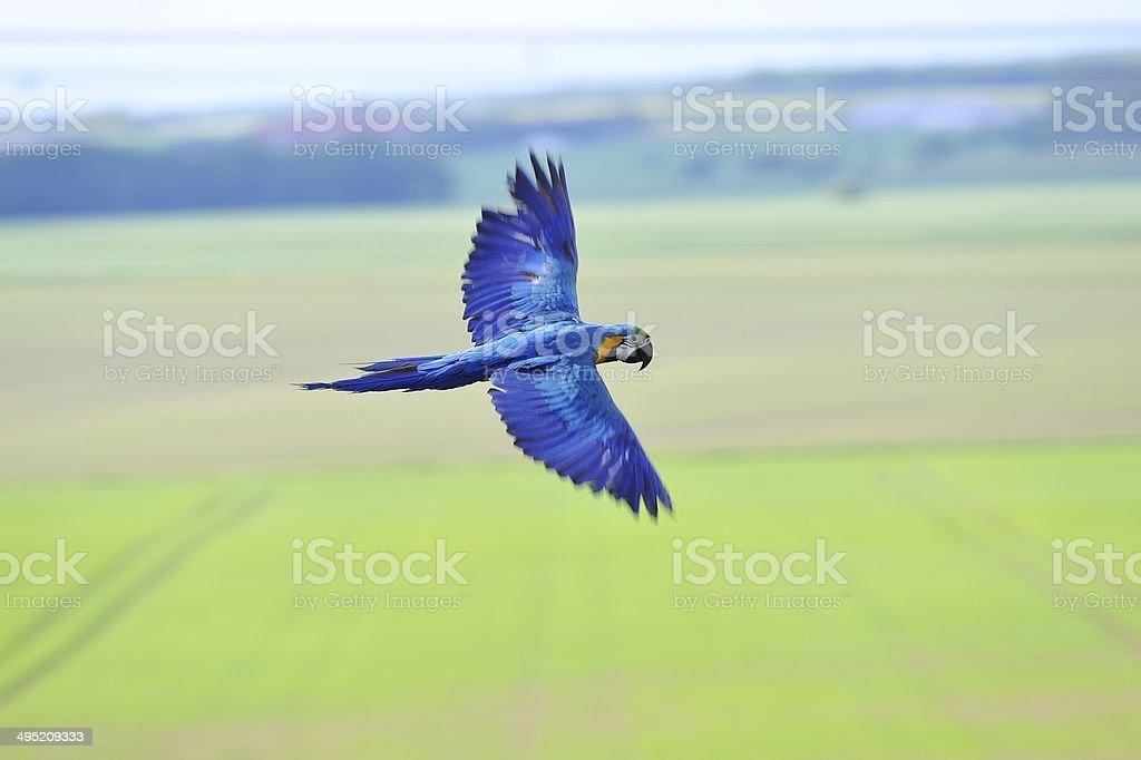 Flying blue-and-yellow Macaw - Ara ararauna upon fields stock photo