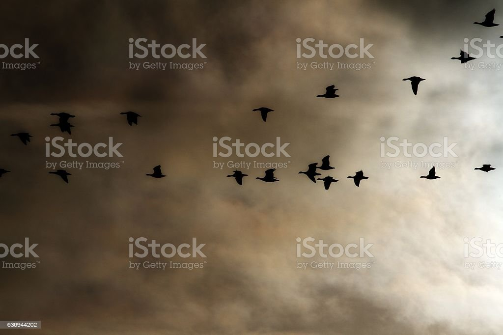 Flying Brent geese stock photo