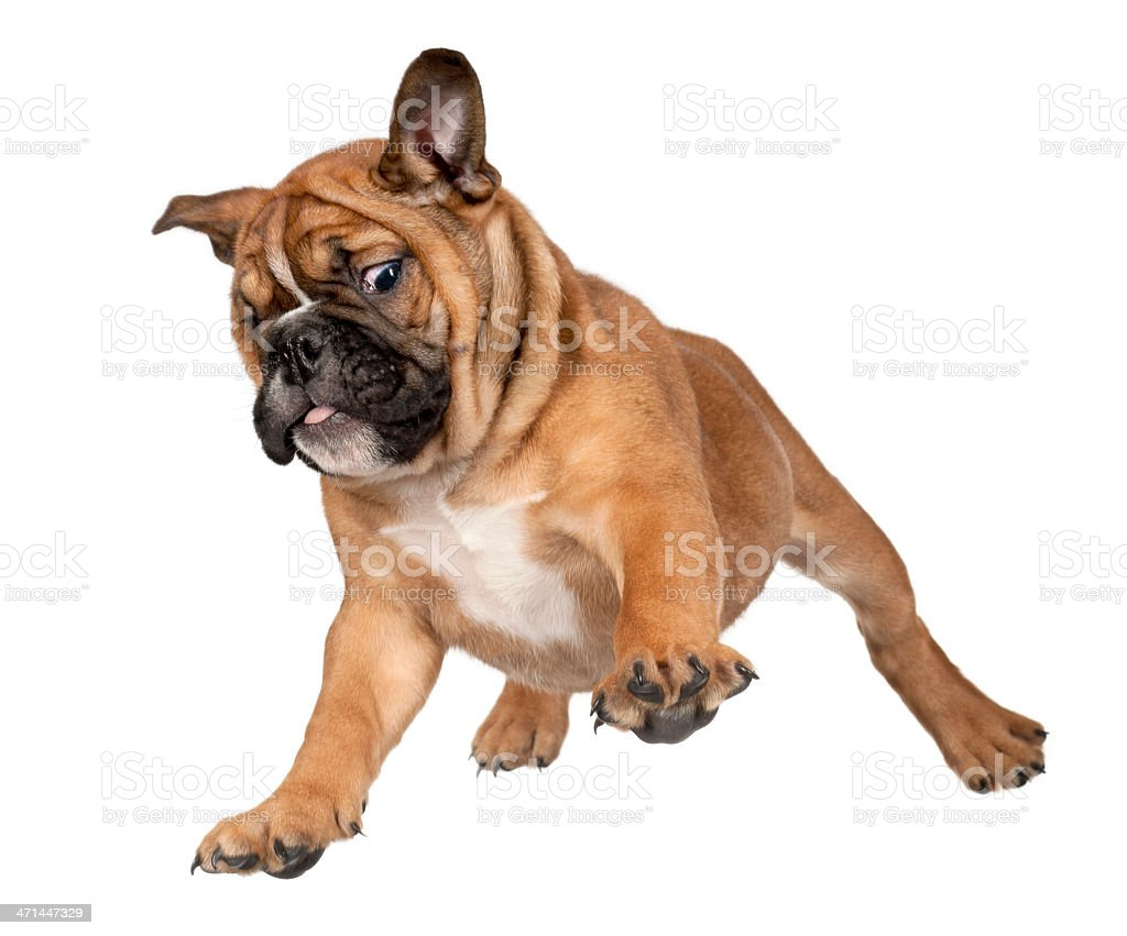 Flying brown boxer puppy isolated on white background stock photo