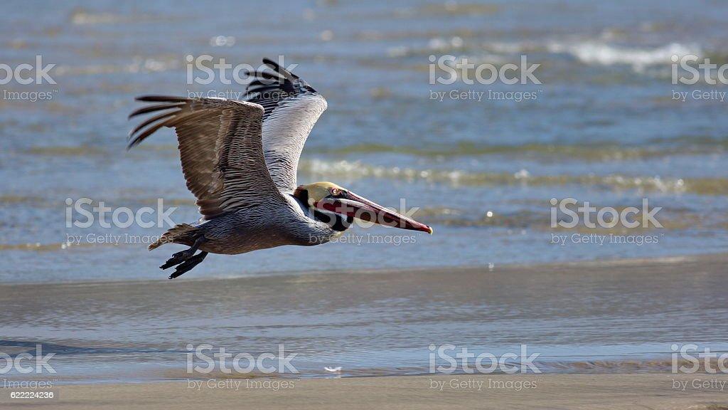 Flying Brown Pelican stock photo