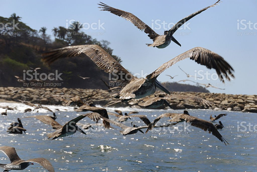 Flying brown pelicans royalty-free stock photo