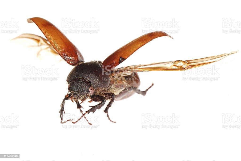 flying brown scarab beetle royalty-free stock photo