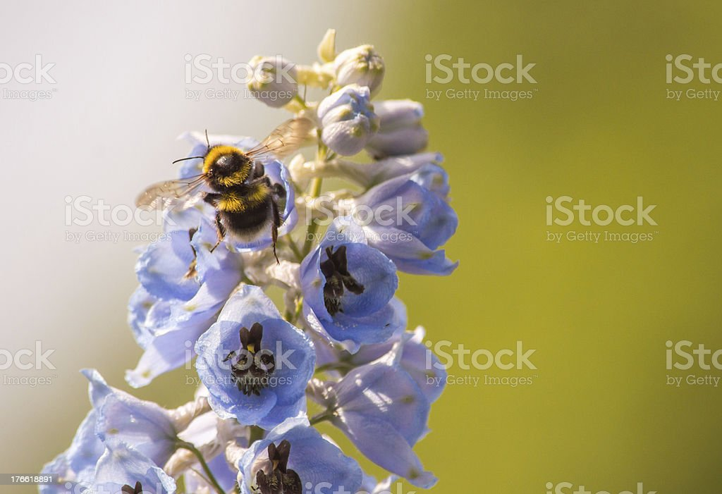 Flying Bumble Bee on a Blue Foxglove Flower Close Up royalty-free stock photo