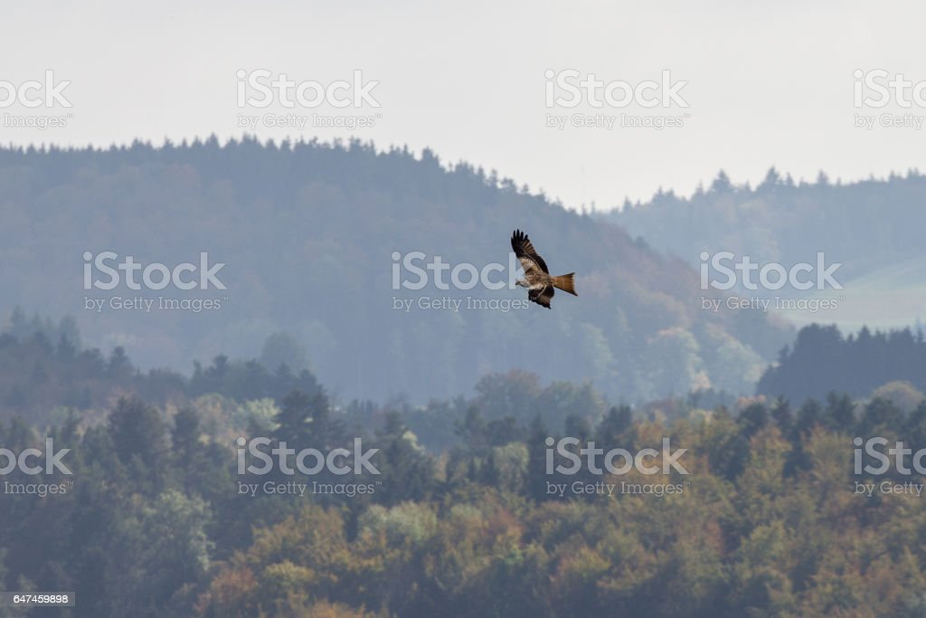 Flying buteo over in the black forest stock photo