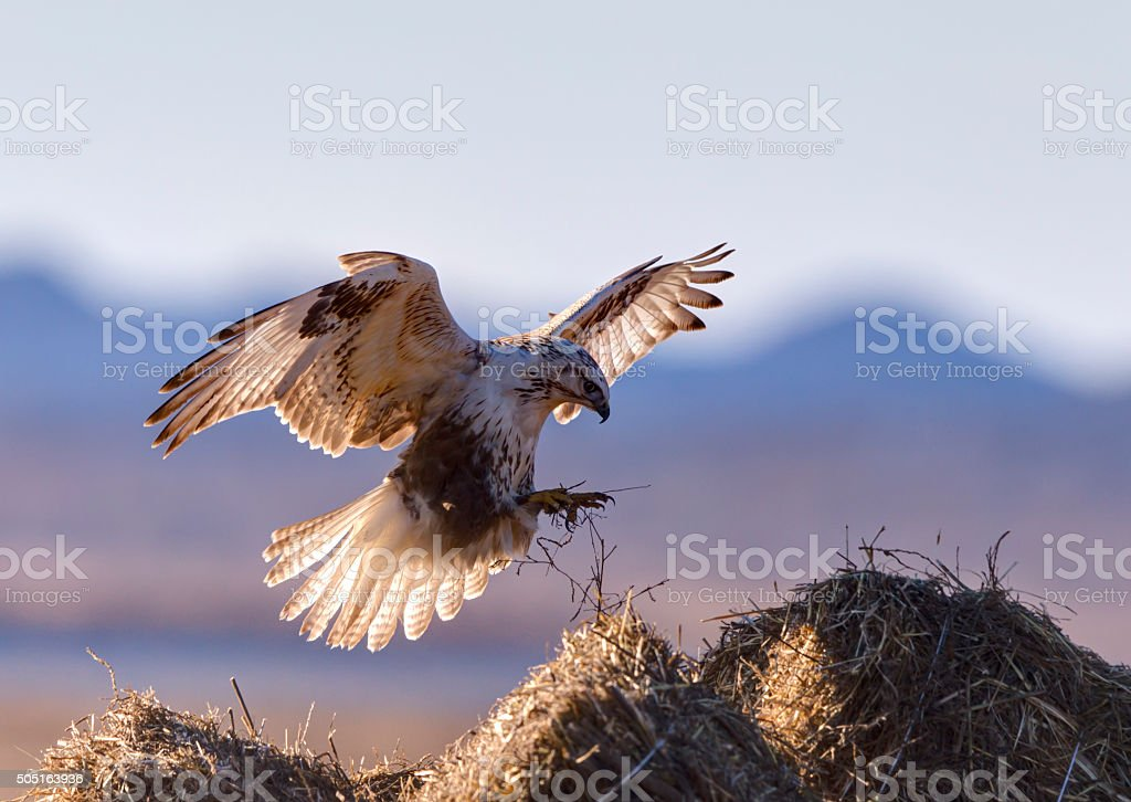 flying buzzard stock photo