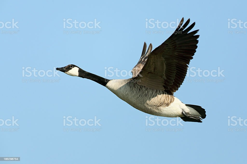 Flying Canada Goose (Branta canadensis) royalty-free stock photo
