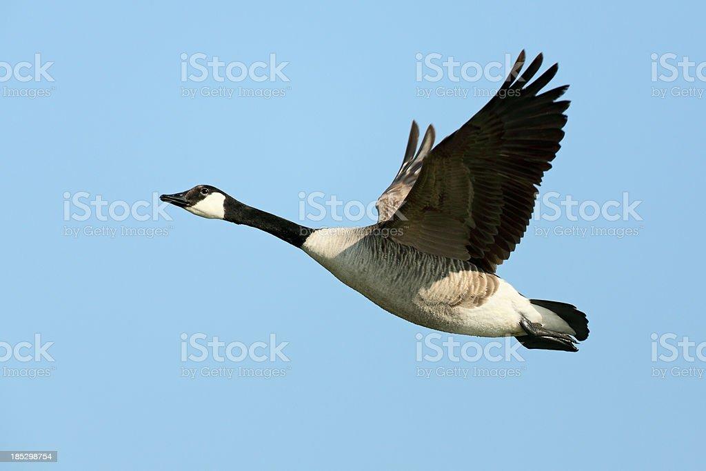 Flying Canada Goose (Branta canadensis) stock photo