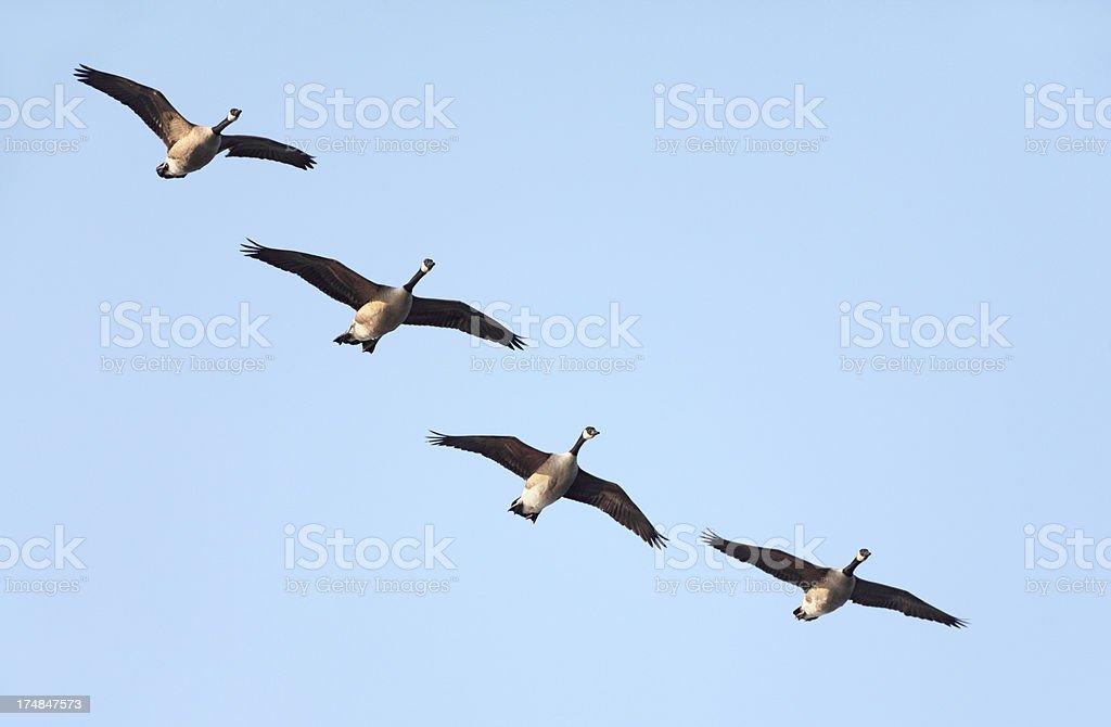 Flying Canada Gooses (Branta canadensis) stock photo