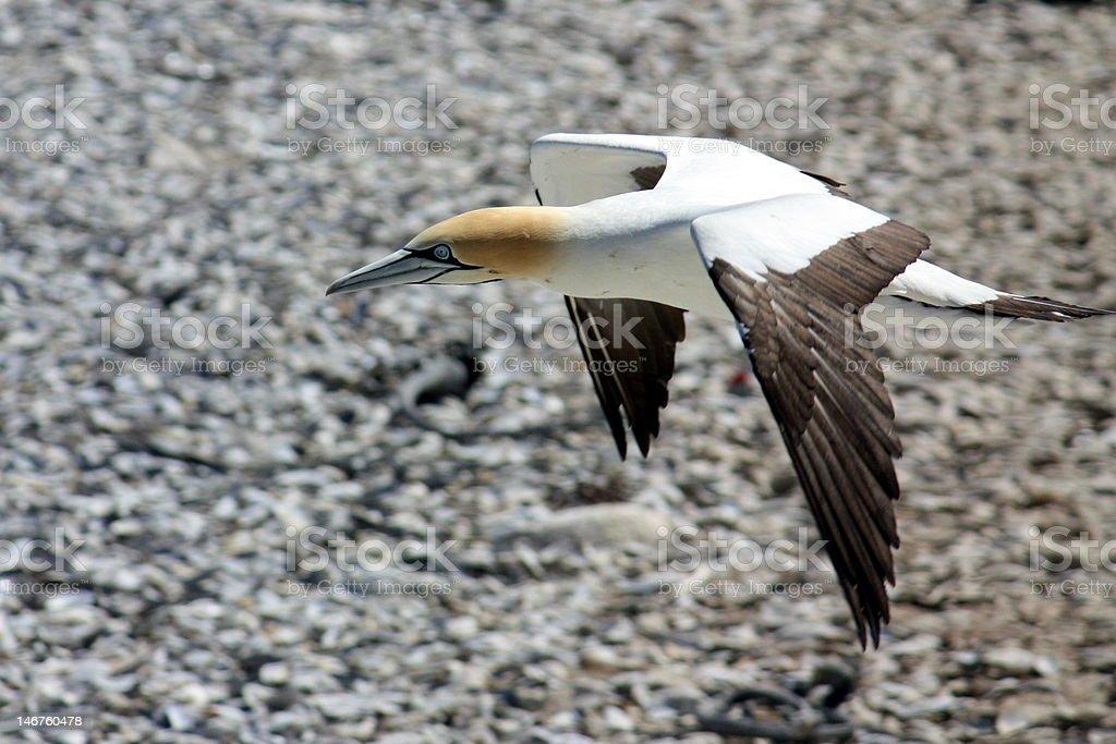 Flying Cape Gannet stock photo