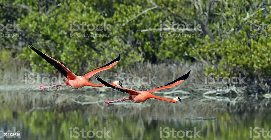 Flying Caribbean flamingos (Phoenicopterus ruber) stock photo